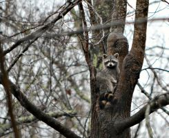 Raccoon Staredown by jennalynnrichards