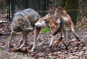 Red Wolf pair playing by Aries18o18