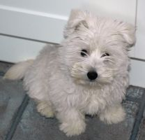 MISSI our westie by M--Art