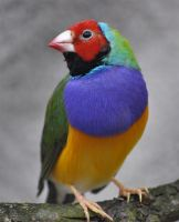 Gouldian Finch by Nerwign