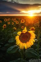 Sunflowers & Sunrays by kkart