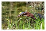 Least Bittern Hunting by bensinn