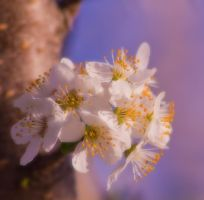 Flowering Tree 1 by JoeGP