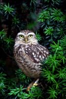 Burrowing owl. by Evey-Eyes