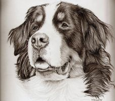 Bernese Mountain Dog by xx-ashley