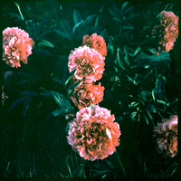 Instant Peonies II by ACBusse