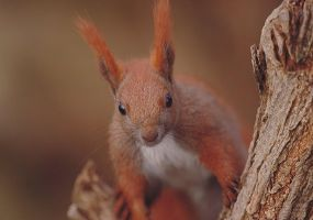 Red Squirrel by A2812
