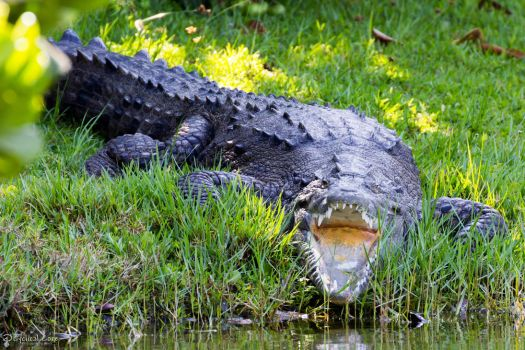 Croc mouth by CyclicalCore