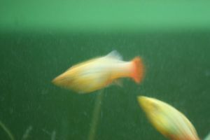 Blurred fish by lostxtearz-stock