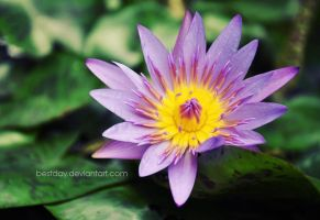 Water Lily by BestDay