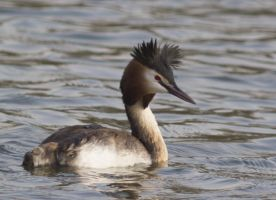 Great Crested Grebe V by Parides