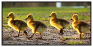 Get Your Ducks in a Row by WildFeathers