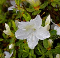 White Azalea by GlassHouse-1