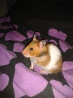 Alfie The Hamster 1 by OkamiRyuu1993