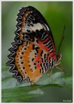 His Majesty the Butterfly by KlaraDrielle