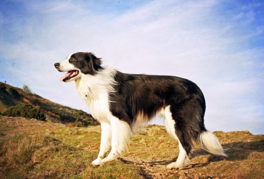 Border collie by micromeg