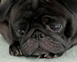 black pug by butterlarry
