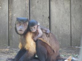 Capuchin Family :3 by Kogalover-Zoe