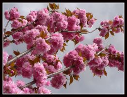 My Cherry Blossom by kanes