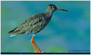 Red Shank Portrait II by andy-j-s