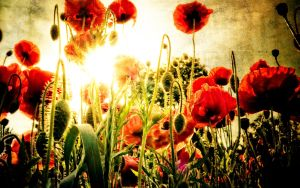 Sunlit poppies by grbush