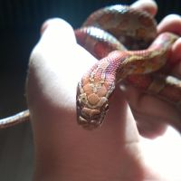 Red Cornsnake by ZainX57