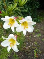 White Lillies by sameera95