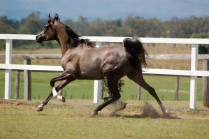GE Arab grey canter stretched out side view earsup by Chunga-Stock