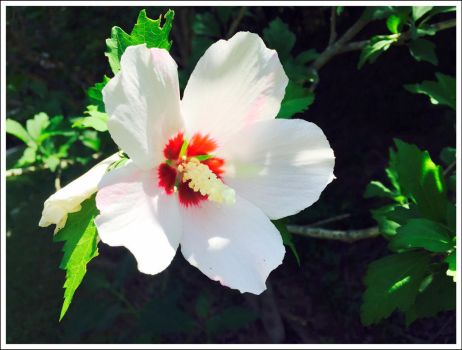 Rose of Sharon by WVUARTIST