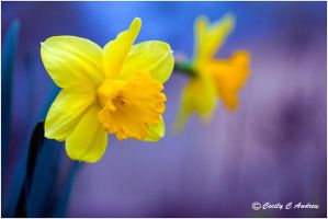 Yellow Daffodil by CecilyAndreuArtwork