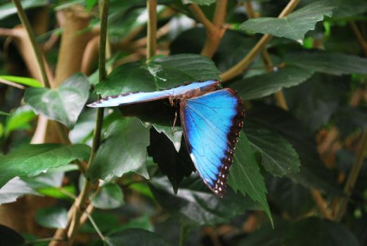 Blue Morpho 3 by Willow421