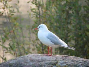 Gull 1 by mrscats