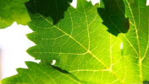 Vine Leafs HD by geko78