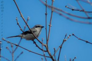 Adult Northern Shrike by sillverrfoxx