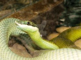 Rhino Ratsnake by Passion-For-Pictures