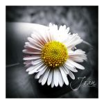 Simplicity of Life. Daisy by JDaVanim