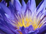 Purple Water Lily by Cheys-Photography