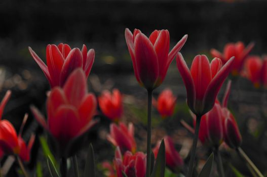 Glowing Tulips by Moonbird9