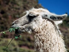 Alpacas Reign in South America by GothicaDollParts