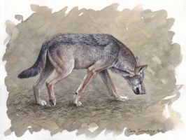 Italian Wolf watercolor by makangeni