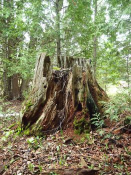Old Tree Stump 2 by AllStock