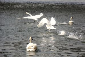Springer swan's play on Vistula by bezzygirl