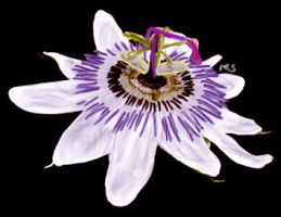 Passion Fruit Flower 1 by resresres