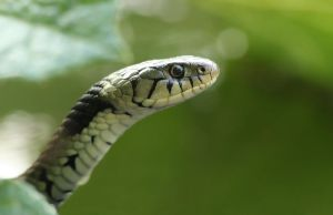Curious  Grass snake by AngiWallace