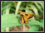 Skipper Butterfly by Juless