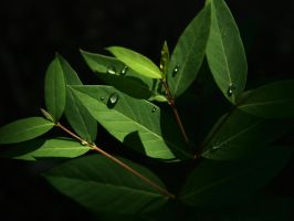 dew drops on green leaves 2 by fotophi