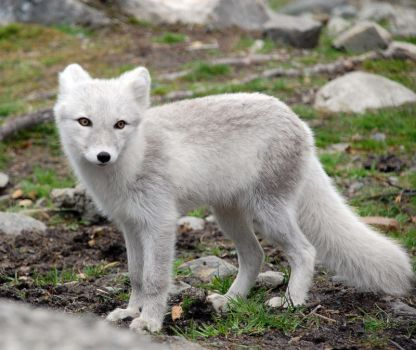 Arctic fox stock 10 by GrayeyesStock