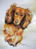 Long haired Daschund by HouseofChabrier
