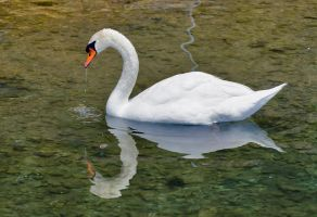 Swan by agelisgeo