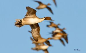 Pintails Take Flight by Grouper